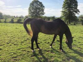 brn horse